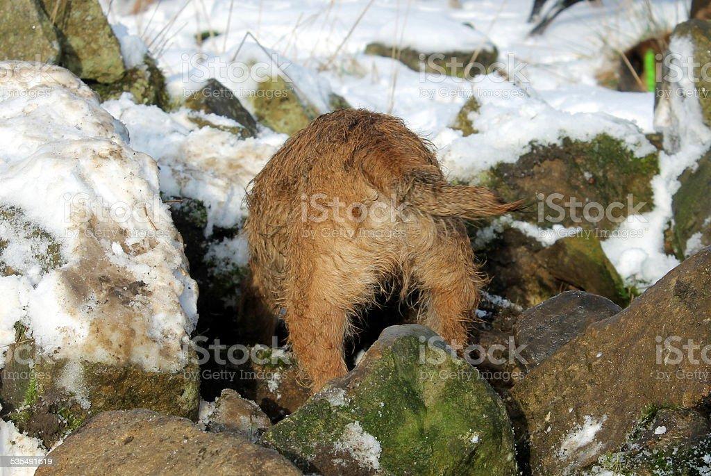 Female Border Terrier marking vermin in stone pile in winter stock photo
