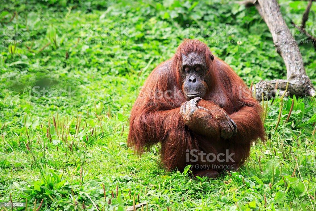 Female Bornean orangutan stock photo