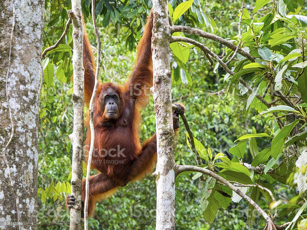 Female Borneo Orangutan at the Semenggoh Nature Reserve, Kuching, Malaysia stock photo