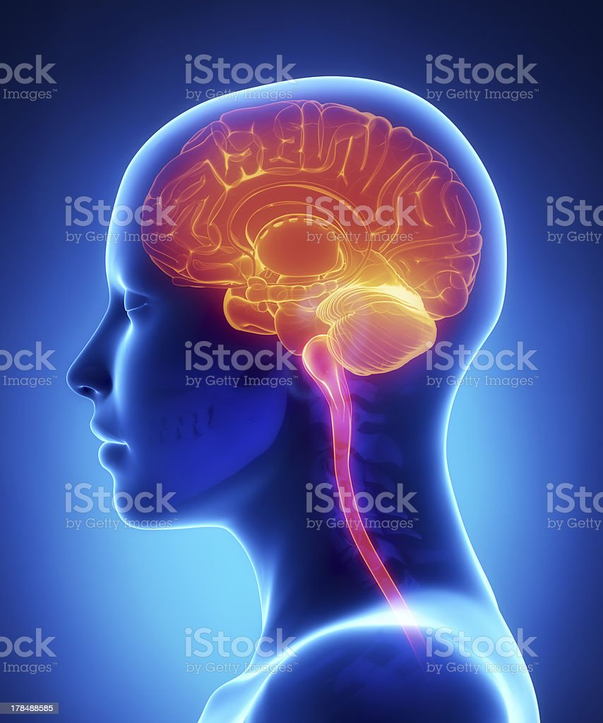 Female brain cross section x-ray anatomy stock photo