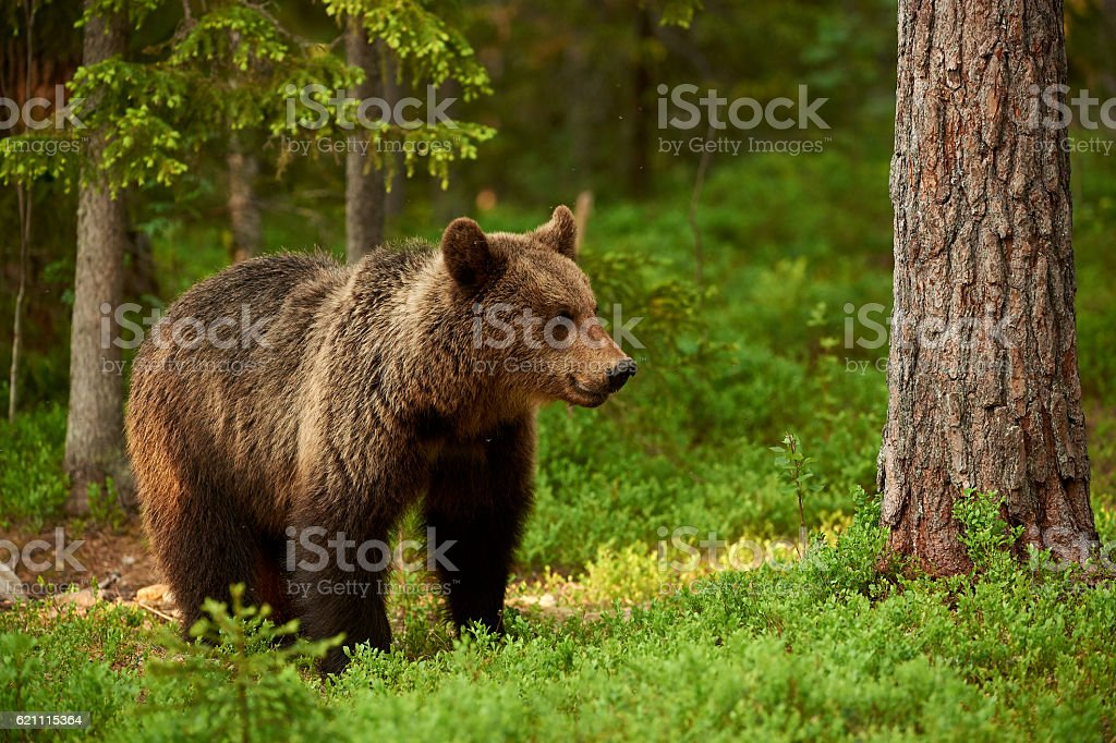 Female brown bear stock photo
