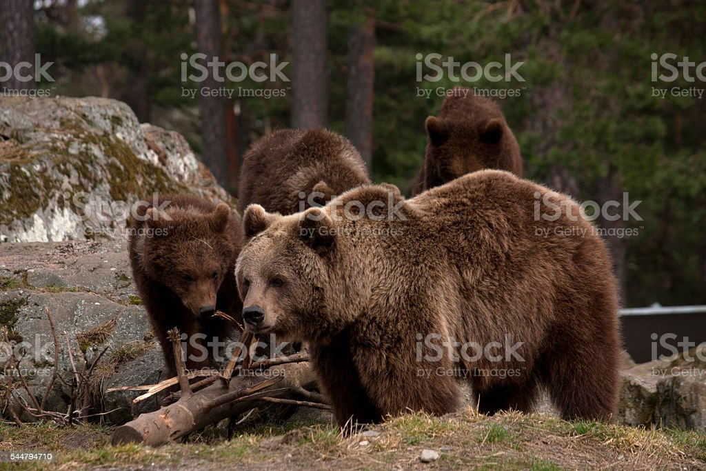 Female brown bear with cubs stock photo