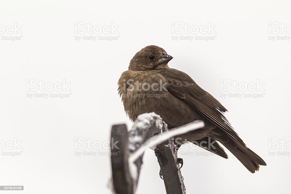 Female Brown-headed Cowbird (Molothrus ater) on Winter Day stock photo