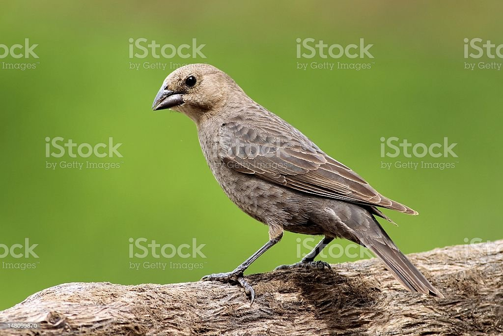 Female Brown-Headed Cowbird stock photo