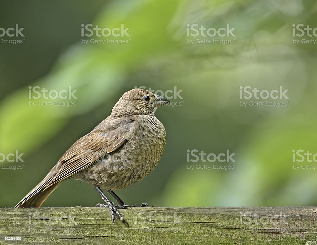 Female Brown-headed Cowbird (molothrus ater) stock photo
