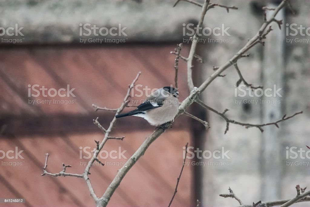 A female bullfinch feeding on seeds in the bush on winter day stock photo