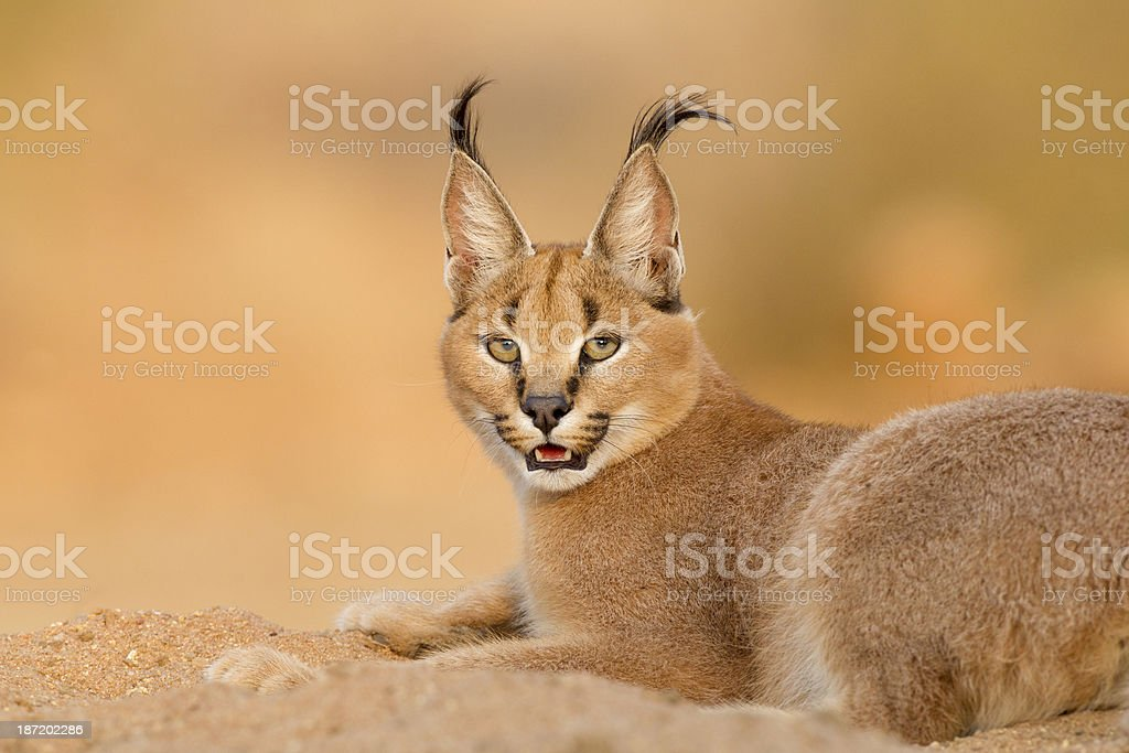 Female Caracal resting, South Africa stock photo