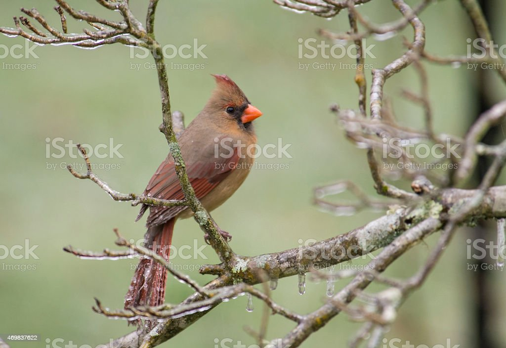 Female Cardinal behind frozen branches. stock photo