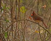 Female Cardinal in Florida