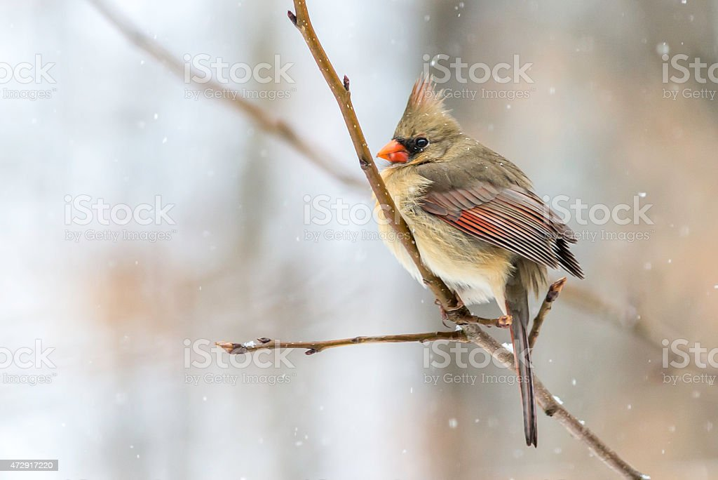Female Cardinal in the Snow stock photo