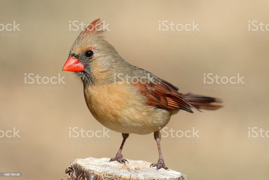 Female Cardinal On A Branch stock photo