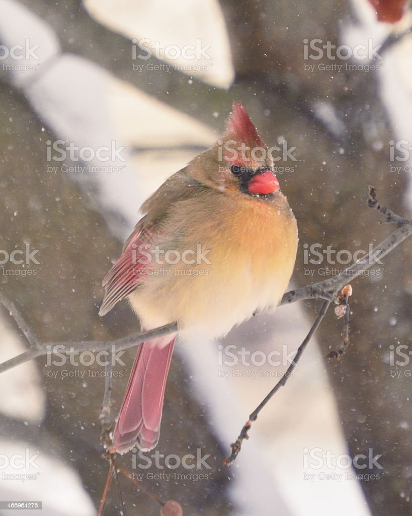 Female Cardinal on Branch in Snow stock photo
