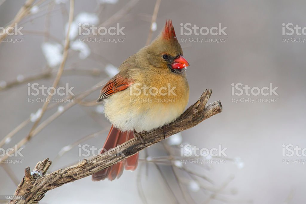 Female Cardinal perched on a winter tree with snow stock photo