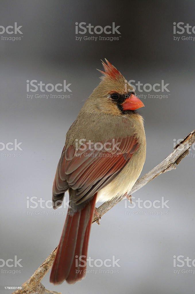 female cardinal stock photo