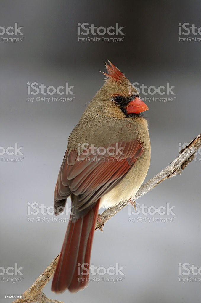 female cardinal stock photo