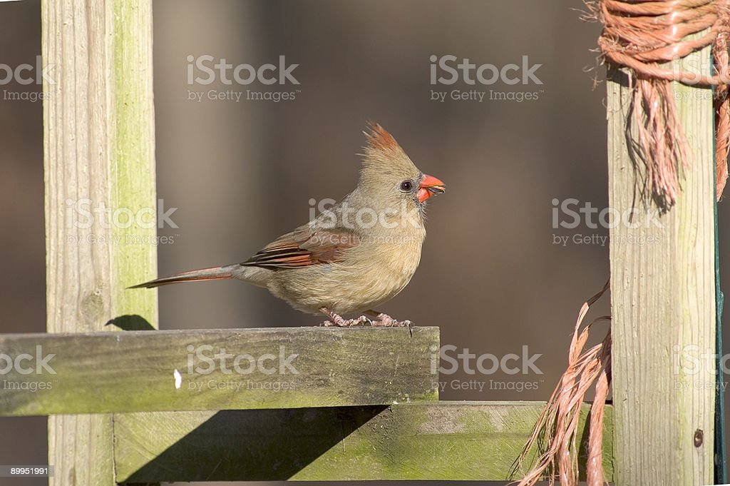 female cardinal royalty-free stock photo