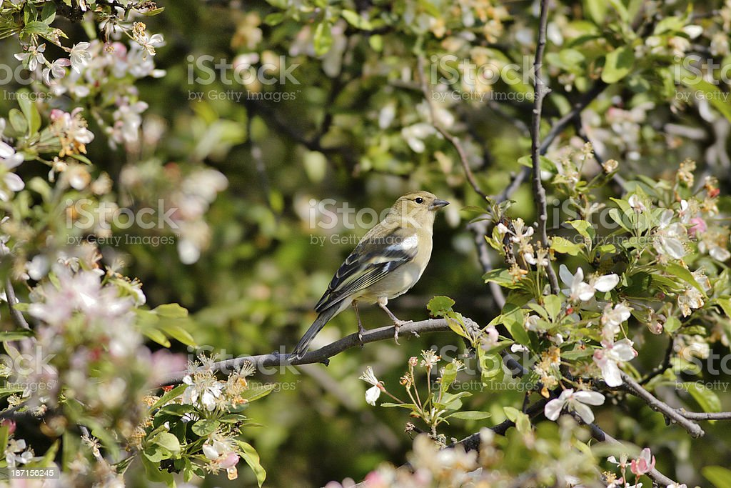 Female chaffinch surrounded by spring blossom royalty-free stock photo
