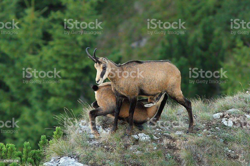 female chamois feeding her kid stock photo
