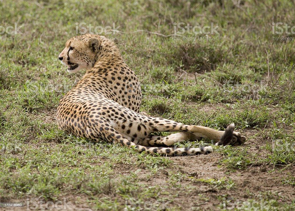 Female Cheetah In Repose stock photo
