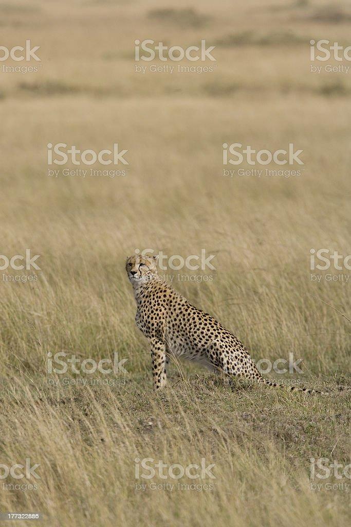 Femme regardant par-dessus le guépard de Masaï Mara photo libre de droits
