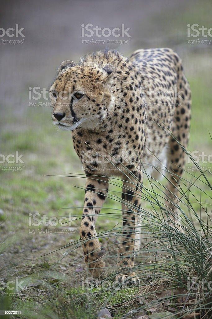 female Cheetah royalty-free stock photo