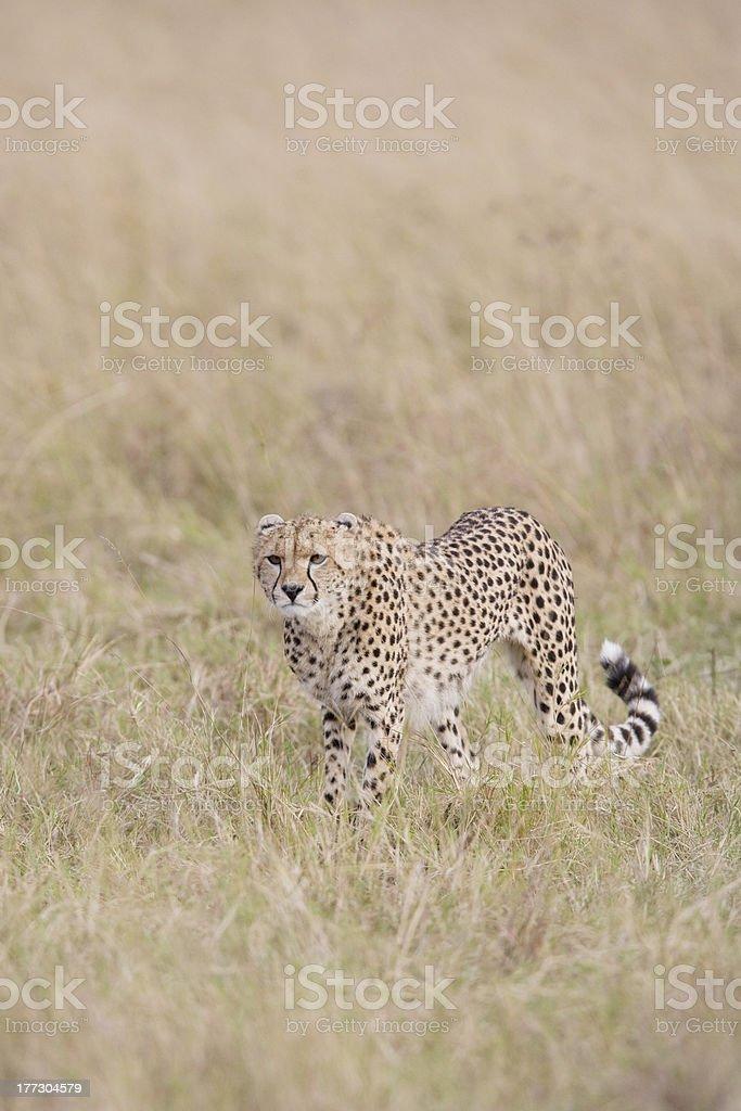 Femme traversant le guépard de Masaï Mara photo libre de droits