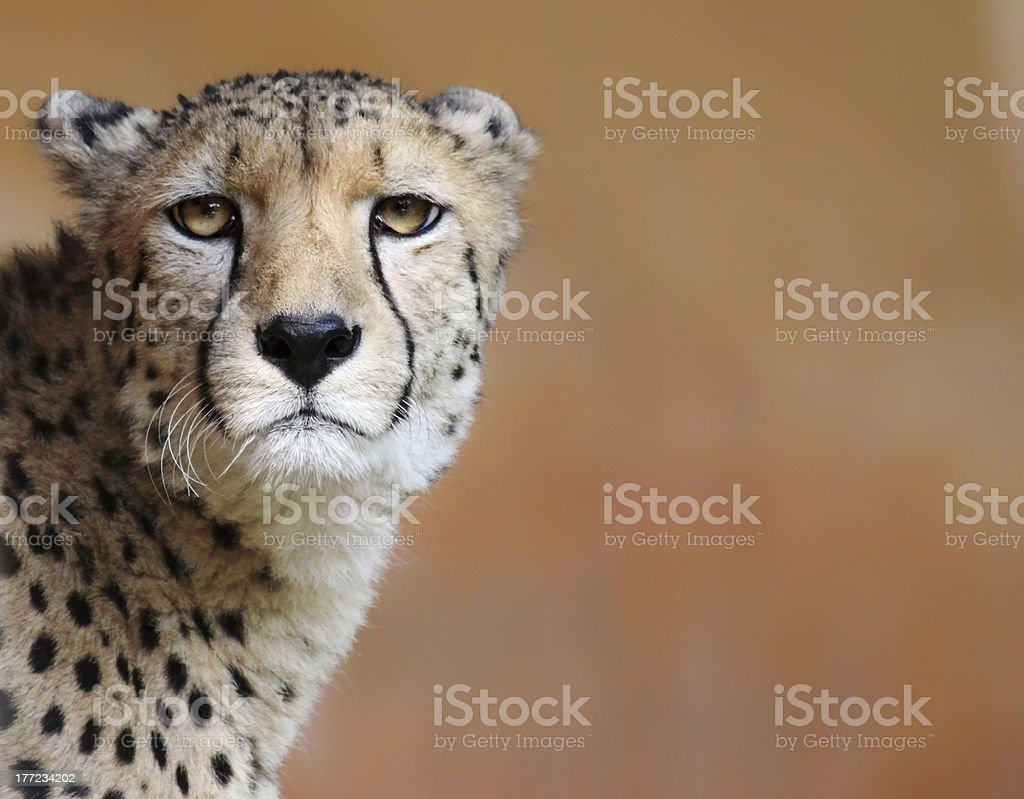 female cheetah with copy space stock photo