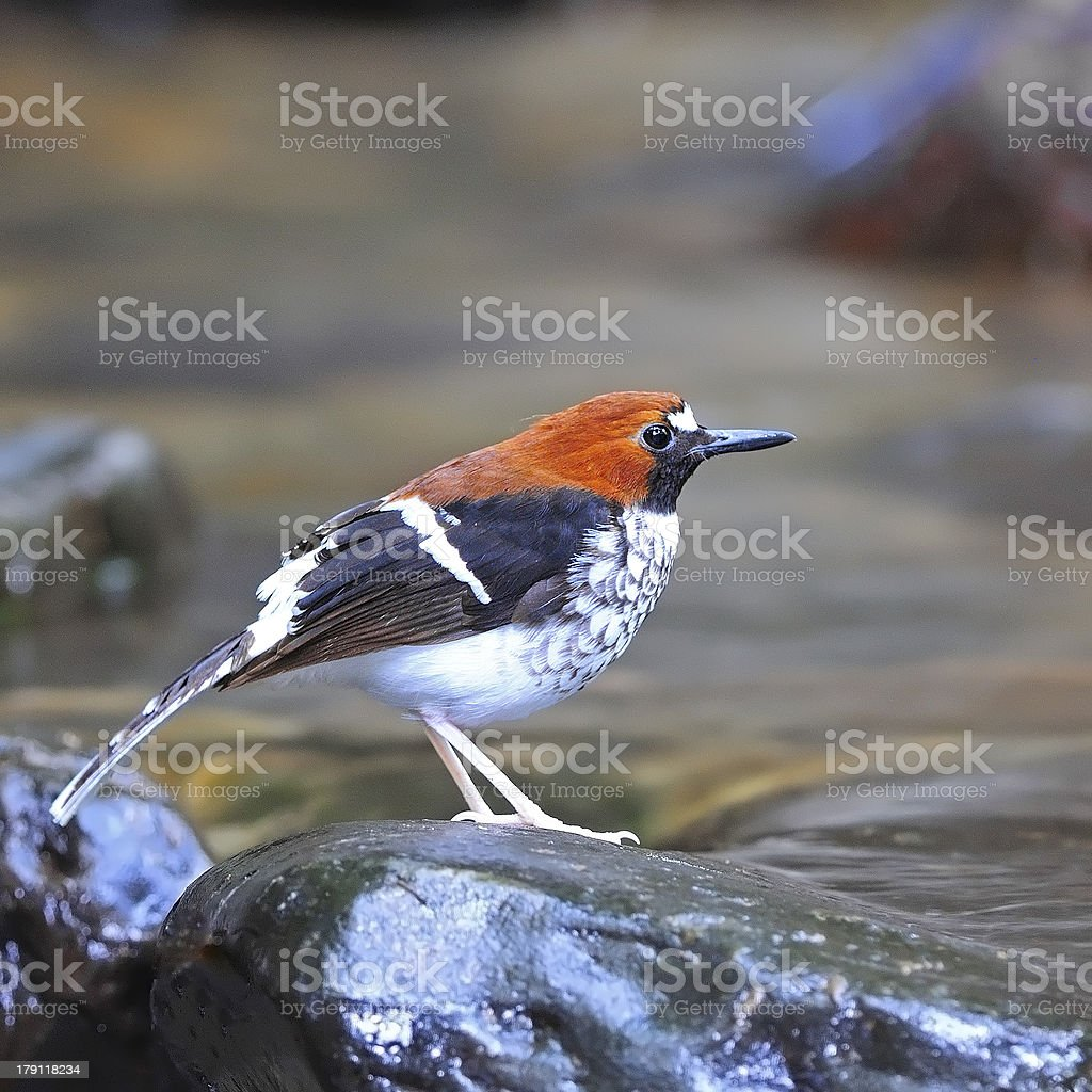 female Chestnut-naped Forktail stock photo
