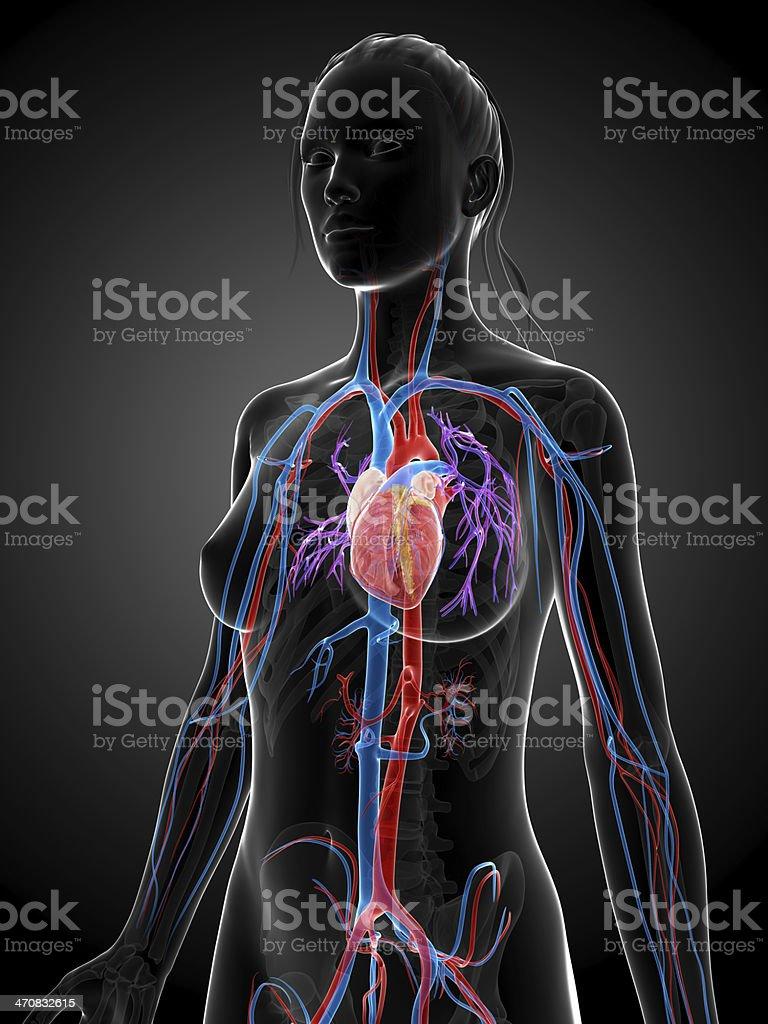 female circulatory system stock photo