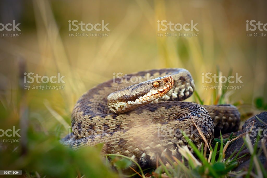 female common adder  ready to strike stock photo