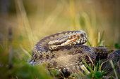 female common adder  ready to strike