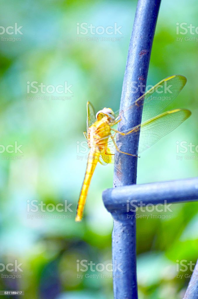 Female Common Darter Dragon Fly In Wild stock photo