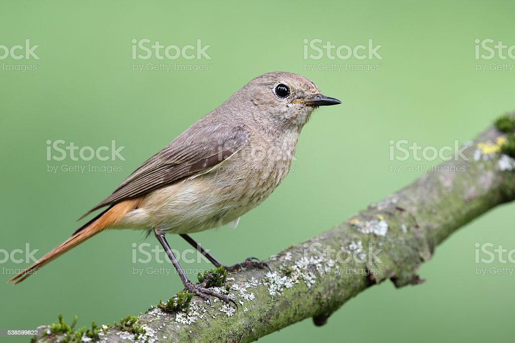 Female common redstart (Phoenicurus phoenicurus) stock photo