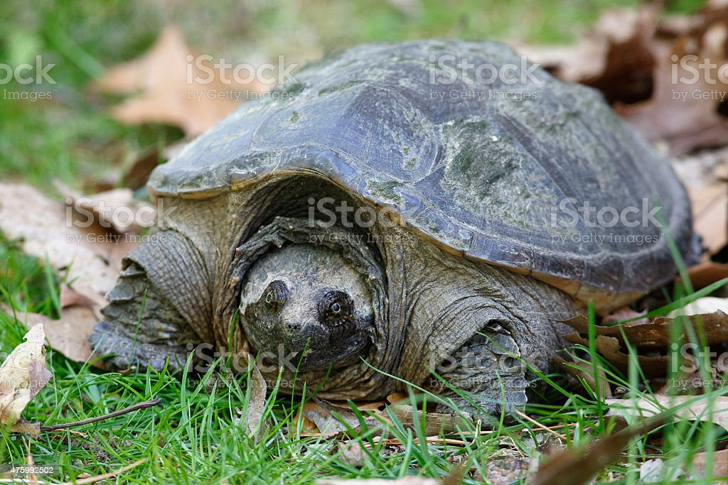 Female Common Snapping Turtle stock photo