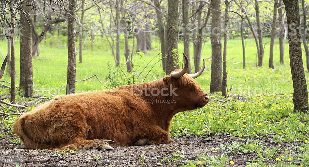 Female cow with horns laying on the ground royalty-free stock photo
