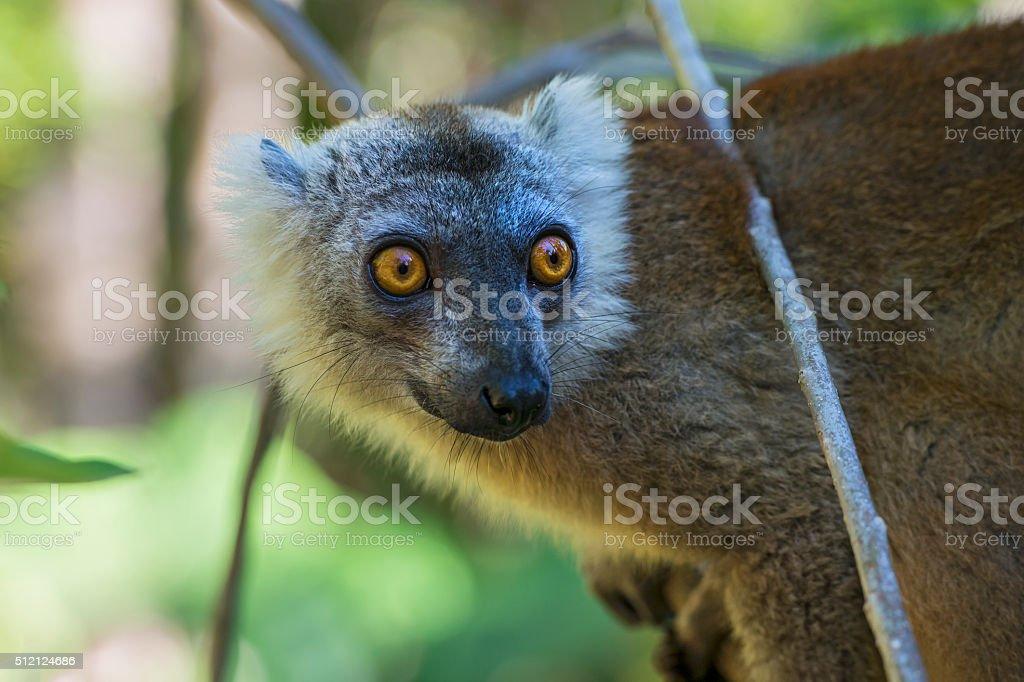 Female Crowned Lemur (Eulemur coronatus), wildlife shot, Madagascar stock photo