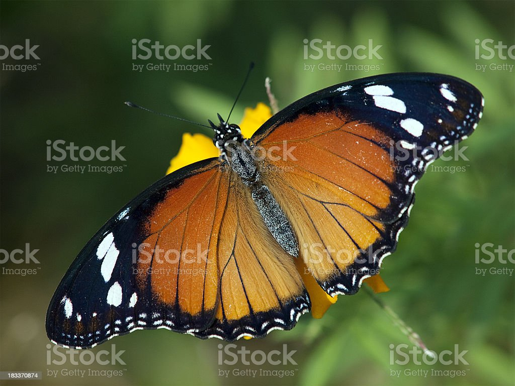 Female Danaid Eggfly Butterfly, India stock photo