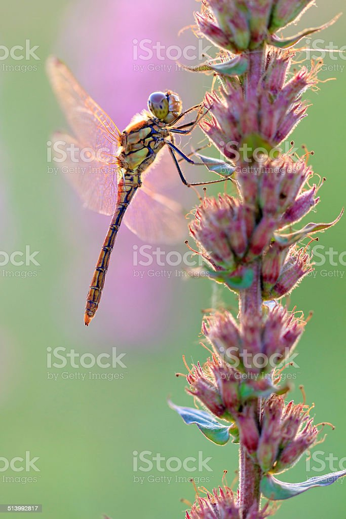 Female darter stock photo