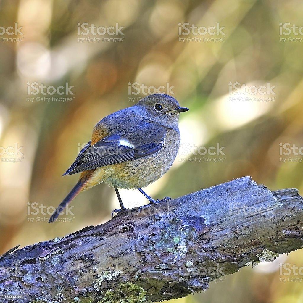 female Daurian Redstart stock photo