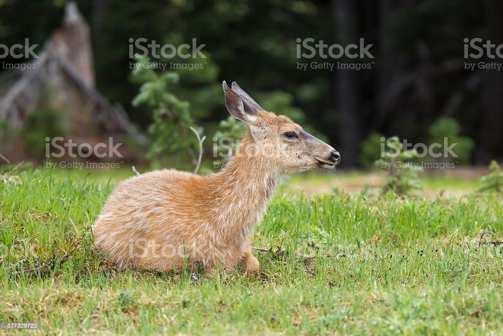 Female deer in grass. stock photo