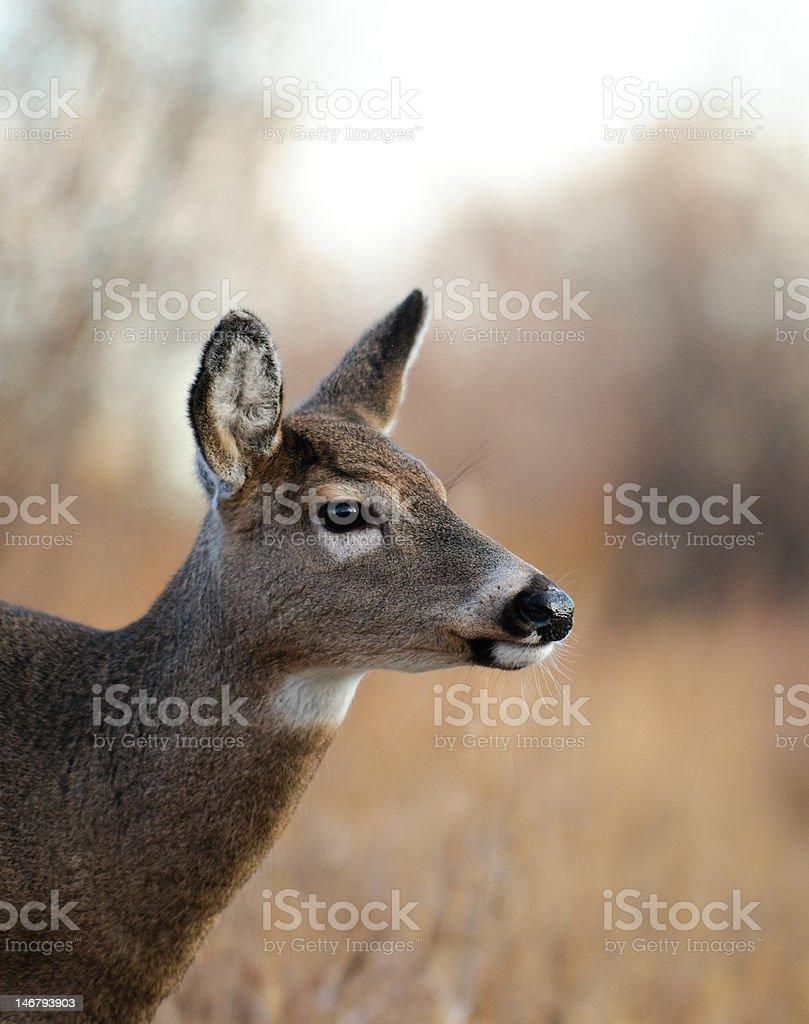 Female deer royalty-free stock photo