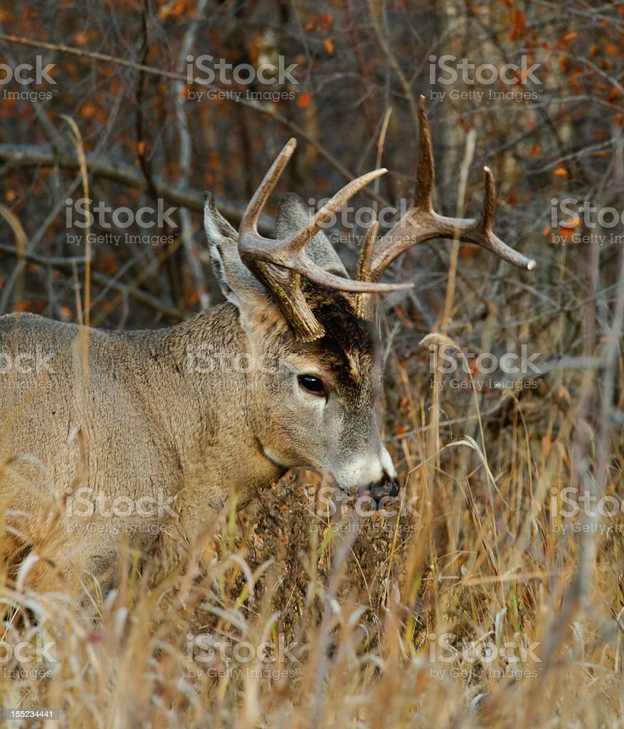 Female deer royalty-free stock photo