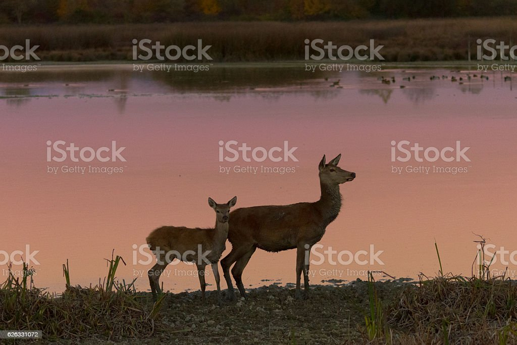 Female deer with her baby by the lake stock photo