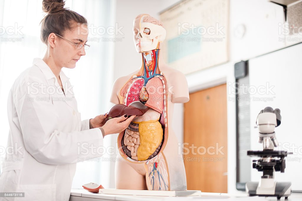 Female Doctor teaching using Anatomical model stock photo
