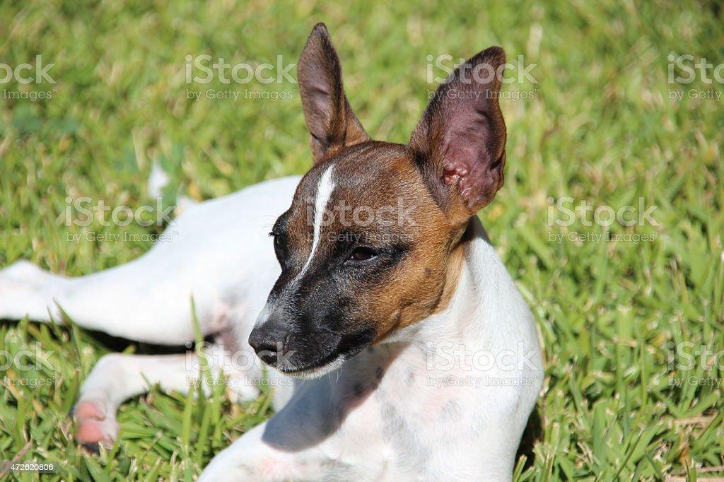 Perro Terrier hembra foto de stock libre de derechos