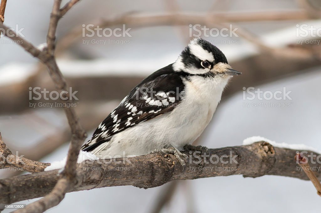 Female Downy woodpecker bird perched on a snow-covered tree stock photo