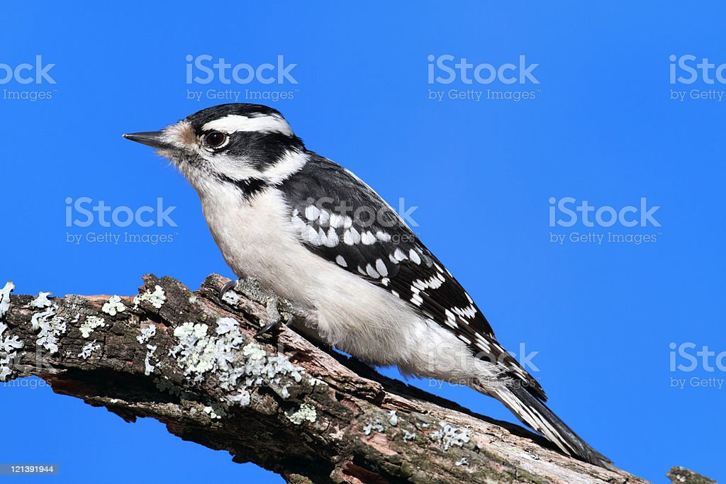 Female Downy Woodpecker (picoides pubescens) stock photo