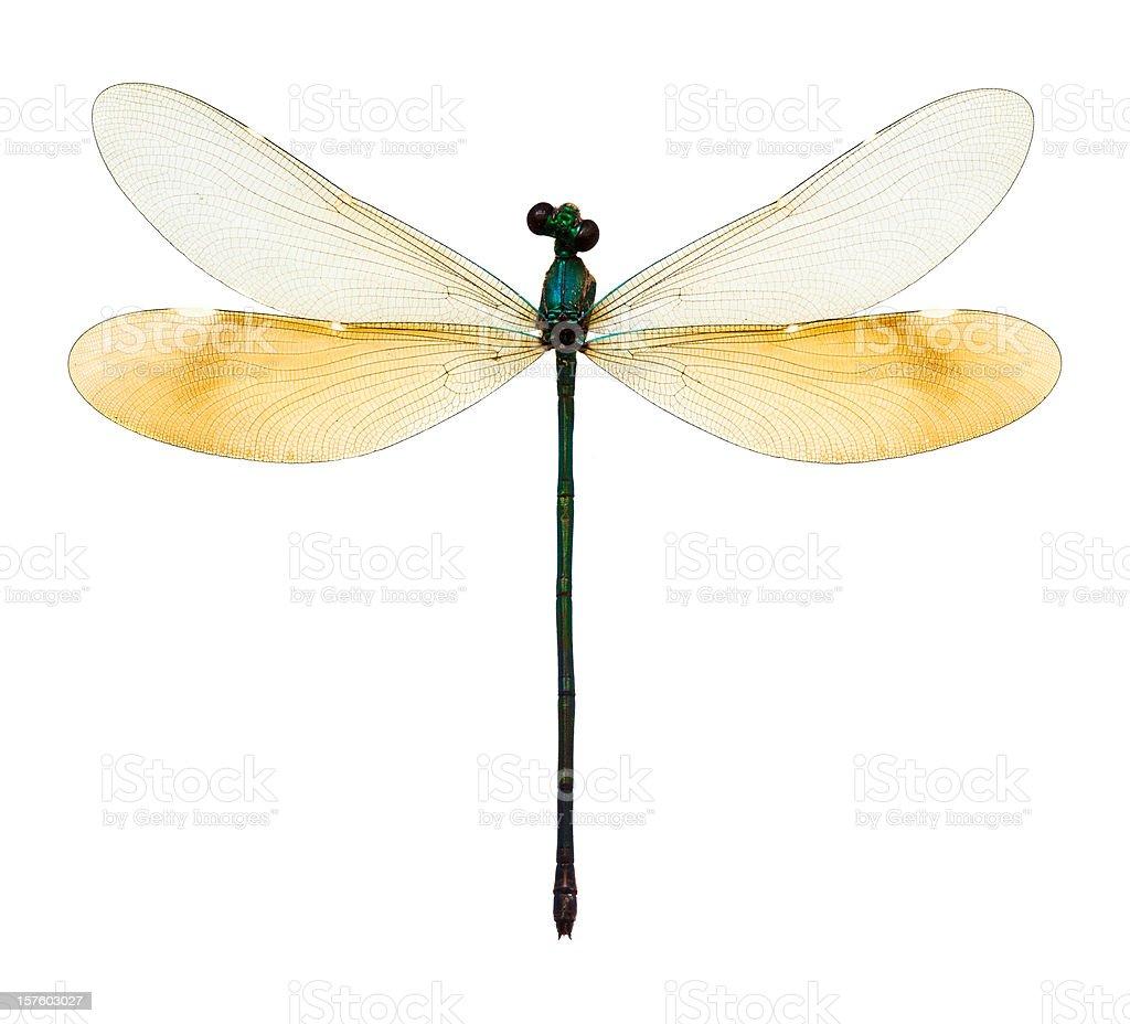 female dragonfly taxidermy royalty-free stock photo
