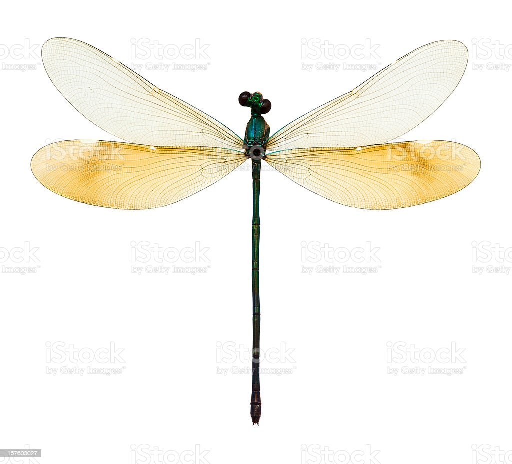 female dragonfly taxidermy stock photo