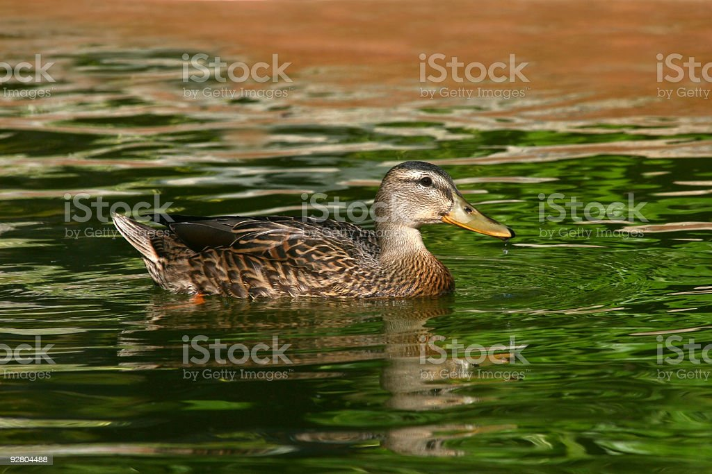 Female Duck on Stream royalty-free stock photo